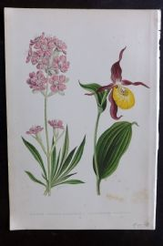 Wooster 1874 Antique Botanical Print. Lychnis Viscaria. Cypripedium Calceolus Orchid